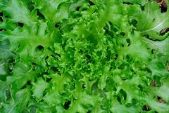 Iceberg (HotDuckZ) Tags: thailand nikon bangkok cx lettuce v1 acil nikon1