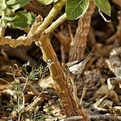 #_ #goodmorning # # #flower #bird  #_ # # # #  # # #  #ksa #photo #sonyalpha #zoom300  #sony #camera #bird #animal #animals  #  #l4l #like4like #ksa #saudiarabia # # (photography AbdullahAlSaeed) Tags: camera flower bird animal animals photo sony goodmorning saudiarabia  l4l ksa  zoom300       sonyalpha   like4like
