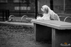 CAR_20150830_0026 (Romanelli Fotografia) Tags: dog pet co cachorro cadela romanelli carlosalbertoromanelliolharfotogrfico