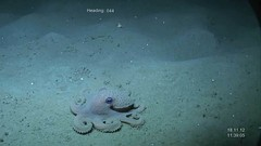 octopus depht 1000 mt videograb (EAF-Nansen project) Tags: ocean africa fish norway fauna project marine dr stock environmental vessel science management research impact knowledge environment aep marines rv approach monitoring survey campaign scientists sustainable marinescience sustainability fao ecosystem resources biodiversity scientific fishery imr faune navire deepwater transect fisheries recherche eaux approche norad oceanographic videograb eaf benthic ressources nansen données échantillon océanographique marineecosystem fridtjof campagnes biodiversité échantillons suivi sédiments échantillonage eafnansen ecosystemapproachtofisheries rvdrfridtjofnansen eafnansenproject benthique écosystémique echantilloneur benthopus