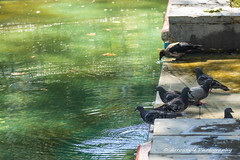 Water Time 1 (`ARroWCoLT) Tags: park bird fall water fountain pool canon pie eos leaf sprinkler crow tamron vc thirsty gvercin 70300 fskiye havuz karga 700d