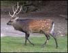 Cerf Sika (wilphid) Tags: montagne animaux parc montblanc sauvage hautesavoie faune leshouches parcdemerlet