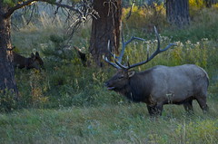 Rocky Mountain National Park - Elk (nebulous 1) Tags: cow nikon bull rmnp elk estespark rockymountainnationalpark ruttingseason d7000 nebulous1