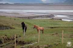 Horses (andrea.prave) Tags: horses horse animals island caballo cheval caballos iceland islandia cavalos pferde cavalli cavallo pferd islande chevaux  islanda   hestar suurland