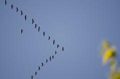Grauwe ganzen in V formatie (markies22) Tags: vlucht goose gans greylaggoose vformation grauwegans vformatie