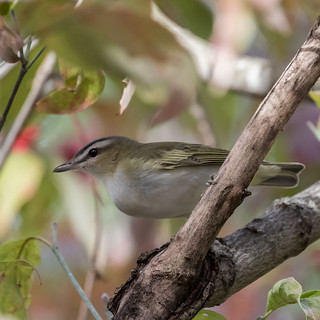 Red-eyed Vireo   1Z9A9282