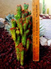 20151007 Dwarf Monstrose Cactus (lasertrimman) Tags: cactus dwarf monstrose 20151007