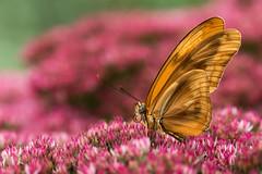 Oranje Passiebloemvlinder (Dryas iulia) (Mijn natuurfoto's) Tags: orange oktober macro closeup butterfly belgium belgië 100mm deirdre passiflora oranje vlinder macrolens butterflyconservatory dryasiulia oranjepassiebloemvlinder oranjebruin