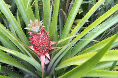 _ITA8611 (Edson Grandisoli. Natureza e mais...) Tags: planta paraty folha ornamental histria abacaxi espinho histrica bromlia regiosudeste