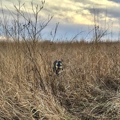 Mr. Pep  (Pep's Hiking Team) Tags: hiking schnauzer northdakota iphone 2015 minischnauzer traildog wildernessdogs adventuresniffer