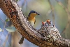 0I6A7571 Leaden Flycatcher (Female feeding at nest) (copsychus) Tags: bird birds australia breeding canberra act nesting 2015 leadenflycatcher pineislandreserve