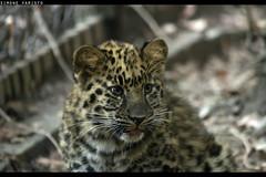 Baby Leopard (Sconsiderato) Tags: pet pets eye animal animals canon eos amazing eyes feline felix leopard felino felini animali animale cucciolo cuccioli sconsiderato