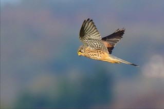 Kestrel (Explored 28-11-15)