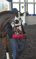 2015-11-11 (50) r6 #8 Janealee (JLeeFleenor) Tags: photos photography md marylandracing marylandhorseracing laurelpark horses thoroughbreds equine equestrian cheval cavalo cavallo cavall caballo pferd paard perd hevonen hest hestur cal kon konj beygir capall ceffyl cuddy yarraman faras alogo soos kuda uma pfeerd koin حصان кон 马 häst άλογο סוס घोड़ा 馬 koń лошадь bay paddock maryland