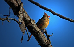 Cardinal Of The Morning Sun (jrussell.1916) Tags: blue trees red sky orange sunlight nature birds morninglight cardinal wildlife shawneemissionpark femalecardinal canon400mmf56lusm