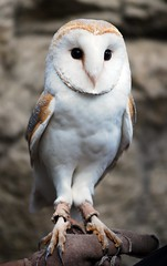 Barn owl (floridapfe) Tags: bird face animal barn zoo korea owl barnowl everland