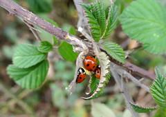 Ladybirds In December (ivlys) Tags: winter nature germany deutschland hessen ladybird allemagne marienkäfer odenwald blackberryleaves neutsch brombeerblätter ivlys