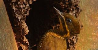 Pica-pau-dourado-escuro | Golden-green woodpecker (Piculus chrysochloros)