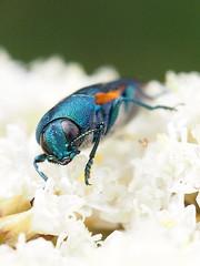 Castiarina ocelligera (Dunderoz) Tags: tasmania buprestidae castiarina squeakingpoint castiarinaocelligera