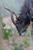 The nyala (Tragelaphus angasii) (annick vanderschelden) Tags: africa southafrica southernafrica wilderness nature trees nationalpark adventure safari animal birds visitor species naturalworld livingorganism biodiversity wildlifereserve nationalwildlifereserve explore vegetation tourist eco naturereserve conservationarea habitat animalwildlife wildernessarea beautyinnature backtonature naturalist picturesque lowveld tranquility animalsandplants nyala antelope inyala bovidae tragelaphus herbivore