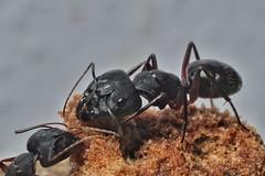 An Ant on a piece of Jaggery. (Vaas.V) Tags: pentaxfa50mmf28macro pentax macrolens macro pentaxks2 ant makro макрос 宏 蚂蚁 μυρμήγκι fourmi муравей ameise