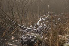 The fallen (Andy Cash) Tags: 2016 andycash fenotn frost lido parks smithpool smithpoolpark unitedkindom fog frozen mist morning trees swamps