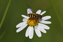 Hoverfly (Syrphus ribesii) (Roy Lowry) Tags: hoverfly syrphusribesii burtonmerewetlands feverfew tanacetumparthenium