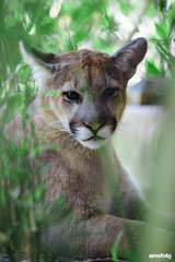 RT3A0710 (Anthony Stone - amsfoto) Tags: mountain lion big cat kitty pondering thinking calm trees nature wildlife