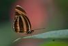 Dryadula phaetusa (senn_b) Tags: pentax k10d dryadulaphaetusa papiliorama switzerland closeup smcpda300mmf40edifsdm papillon