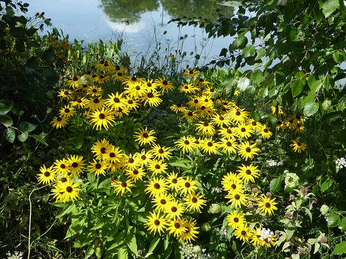 Aurora, IL, Lake Waubonsie State Park, Brown-Eyed Susan Flowers with Reflection