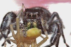 Look What I Got For Christmas! (Phidippus audax) (OrlandParkBirdieGirl) Tags: flickr lounge week 52 flash photography macro spiders arachnid phidippus audax salticids bold jumping spider in explore
