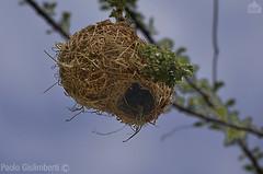 nido di uccello Tessitore, Weaver's nest (paolo.gislimberti) Tags: ethiopia etiopia architettutaanimale animalarchitecture nidi nests uccelli birds
