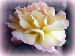 Dream Petals (swetlanahasenjäger) Tags: saariysqualitypictures rose petals makro rosesforeveryone sunrays5 coth simplysuperb coth5 flowerarebeautiful
