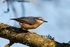 _F0A7365.jpg (Kico Lopez) Tags: galicia lugo miño sittaeuropaea spain trepadorazul aves birds rio