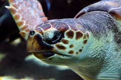 Turtle face (Vee living life to the full) Tags: france french italy italian riviera leger travel touring holiday nikond300 tropical fish aquarium oceanography underwater face porcupine tang blow mouth open eyes turtle swimming sea ocean