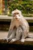 sitting and thinking (Sam Scholes) Tags: sangehmonkeyforest badungregency purabukitsari hinduism hindu travel bukitsaritemple bali palaforest sangeh holymonkeyforest vacation indonesia denpasar moneyforest abiansemal id