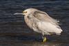 Snowy Egret and the Windy Day (MelRoseJ) Tags: antioch california unitedstates a77ii alpha autofocus sonyalpha sal70400g sony sonyilca77m2 nature contraloma eastbayregionalparks ebparksok