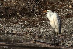Aigrette 170121-03-RP (paul.vetter) Tags: oiseau ornithologie ornithology faune animal bird grandeaigrette ardeaalba greategret