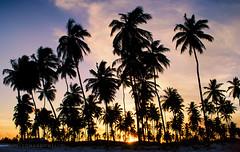 Tropical Dusk (LeoMuse747) Tags: sunset sky dusk tropical paradise beach tamandaré pernambuco brazil brasil em imagens brasilemimagens brasilian brazilian beachwalk palm palmtrees palmtree sun sungazing sunshine purple nikon d5100 nikkor 1855mm vr lens kit praia dos carneiros silhouette silhouettes leomuse747