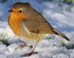 robin  (8) (Simon Dell Photography) Tags: simon dell photography sheffield castleton derbyshire snow 2017 friday 13th january peak district photos old new landscapes wildlife nature animals birds wild scenes buildings village awsome sunlight first winter robin red breast bird cute close up macro detail classic snowy image ground