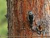 Himalayan Woodpecker (Dendrocopos himalayensis) (gilgit2) Tags: astore avifauna birds canon canoneos7dmarkii category fauna feathers geotagged gilgitbaltistan himalayanwoodpeckerdendrocoposhimalayensis imranshah location pakistan rama species tags tamron tamronsp150600mmf563divcusd wildlife wings gilgit2 dendrocoposhimalayensis
