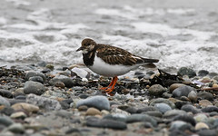 122A6697-2 (flyingshadow330) Tags: whiterock white rock pier ruddy turnstone shorebird british canada columbia