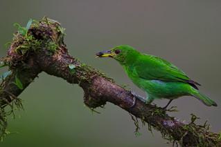 Saí-verde // Mielero verde // Green Honeycreeper