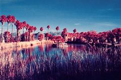 color infrared. zzyzx, ca. 2016. (eyetwist) Tags: eyetwistkevinballuff eyetwist zzyzx color infrared eir mojavedesert california nikon n90s nikkor 28105mmf3545d 28105mm infracolor bw099 099 kodak ektachromecolorinfrared lenstagger ishootfilm ishootkodak film analog analogue emulsion coolscan iconla mojave desert southwest usa palmtrees palm trees laketuendae healthspa springs sodalake reeds falsecolor landscape palms tuichub lake pond water oasis aerochrome 35mm