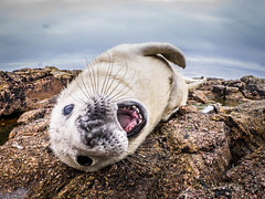 Yawning White Coat Seal Pup. (davidmcbridephotography) Tags: atlantic grey seal white coat pup teeth mouth jaw open wild out door experience wildlife natural history annet rocks scilly scillies smile growl whiskers sleep rest baby rolling yawning growling angry snarl happy cute acute composition raw olympus dramatic dynamic pose close rockpool rock pool nature english halichoerus grypus natur wasser extreme up personal face outdoor landscape sea baron
