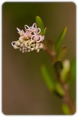 Grevillea 'Pink Midget' (Craig Jewell Photography) Tags: australia bokeh flora flower grevillea macro pink pinkmidget ¹⁄₅₀₀₀sec f50 ‒⅓ev canoneos30d iso800 20100122070300mg4328cr2 craigjewell
