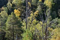 Invereshie-D8883.JPG (MyParkScotland) Tags: woods woodland woodofcaledon trees scotspines scotspine reserve pinussylvestris pinewood pine october2012 october nnr naturereserve nationalnaturereserve invereshied8883jpg invereshiennr invereshie glenfeshie forest digitaljpegs caledonianpine caledon autumn 2012 invereshieandinshriachnnr