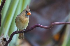 Northern Cardinal (f) (Peter Stahl Photography) Tags: northerncardinal cardinal female maui hawaii bird outdoors