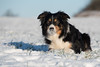 Snow nose (Flemming Andersen) Tags: dogs winther nature hund outdoor white snow catja animal jelling regionsyddanmark denmark dk