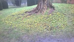 Winter Aconites by the Pet Cemetary in the formal gardens WP_20170215_08_31_25_Pro (Coventry City Council) Tags: coombecountrypark coombeabbey coventry